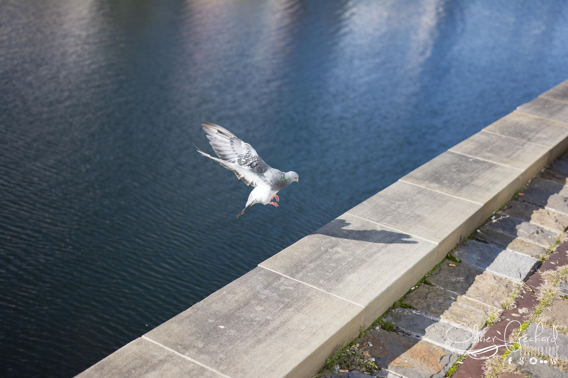 Photo de pigeon avec le sigma 18-35 F1.8 Art